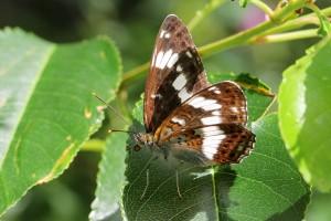 kleine-ijvogelvlinder-2